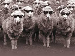 sheep-cool